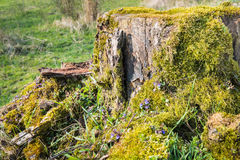 Tree stump overgrown with moss and grass Stock Photo