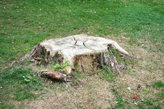 Tree Stump Royalty Free Stock Photography