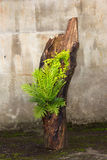 Tree stump planted with a big fern stock photo