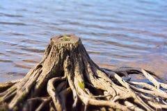 Tree stump Royalty Free Stock Image