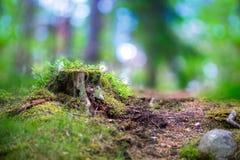 Tree stump in scandinavian forest Stock Photos