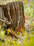 Tree Stump Shelters New Plant Life Stock Image