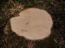Tree stump showing growth rings Royalty Free Stock Images