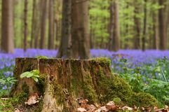 Tree stump in springtime Royalty Free Stock Photography