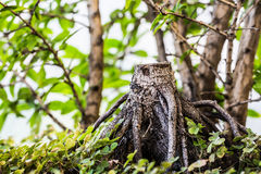 Tree stump. A tree stump surrounded by trees and grass Royalty Free Stock Photos