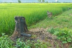 Tree stump. Tree stump of Teak burned beside rice field royalty free stock images