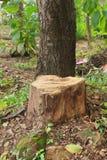 Tree stump of Teak. Tree stump of young Teak were cut down Stock Photos