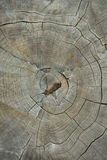 Tree Stump Top View Close up. Texture of Old Dry Tree Stump with Royalty Free Stock Photography