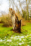 Tree stump of a tree that was knocked down by a lightning strike in Campbell Valley Park Royalty Free Stock Photography
