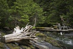 Tree stump washed ashore Royalty Free Stock Image
