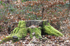 Tree stump. A weathered tree stump with moss, in an autumn forest Royalty Free Stock Images