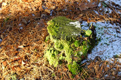 Tree stump in winter covered with moss Stock Image