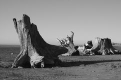 Tree stumps. This was taken on Tahunanui beach, New Zealand Royalty Free Stock Photo