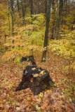 Tree stumps,autumn colors. Royalty Free Stock Image