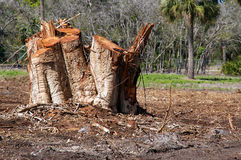 Tree stumps. Cluster of freshly cut tree stumps in field in Bonita Springs, Florida Stock Photography