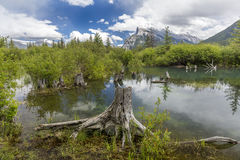 Tree Stumps Emerging From a Mountain Lake - Alberta, Canada Royalty Free Stock Image
