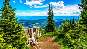 Tree Stumps on a hiking trail on Tod Mountain near the alpine village of Sun Peaks in the Shuswap Highlands of British Columbia. Canada royalty free stock images