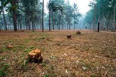 Tree stumps in the middle of pine tree forest. royalty free stock image