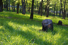 Tree stumps in park. A pair of tree stumps in the sunshine in a park Royalty Free Stock Image