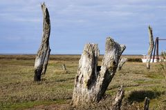 Tree stumps Thornham. Old dead tree stumps at Thornham harbour Stock Photography