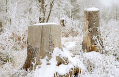 Tree stumps. In the winter and snow stock image