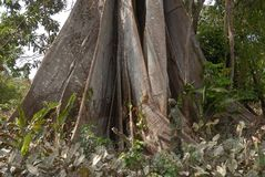 Tree Sumaúma royalty free stock photography