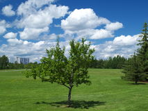 Tree in summer. Green field and blue cloudy sky, a young tree in foreground Royalty Free Stock Image