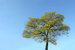 Tree In Summer royalty free stock photo