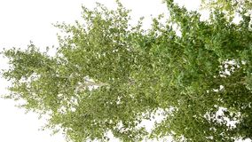 Tree on a summer afternoon. Aspen in the light wind swayed the foliage stock video