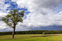 Tree in the summer. An agricultural field on which grows lonely tree. Summer season, cloudy weather. The photo was taken close-up, focus on tree. In the stock image