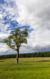 Tree in the summer Royalty Free Stock Photo
