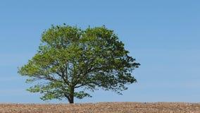 Tree In Summer Breeze. Tree on a breezy day in empty field stock video