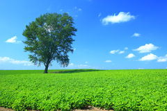 Tree and summer green field. A lonely tree on summer green field at Hokkaido, Japan Stock Photography