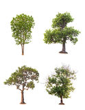 Tree in summer isolate on white background Royalty Free Stock Photography