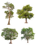 Tree in summer isolate on white background Stock Images