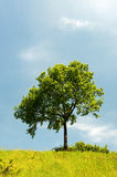 Tree in summer landscape Royalty Free Stock Image