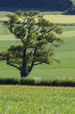 Tree within summer landscape Royalty Free Stock Photo