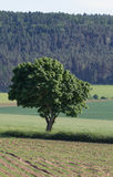 Tree within summer landscape Royalty Free Stock Image