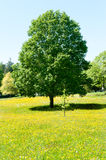 Tree and summer meadow Stock Image