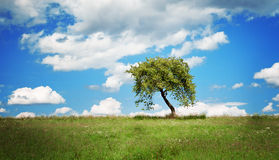 Tree in summer sunshine. Royalty Free Stock Photos
