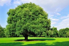 Tree in summertime Royalty Free Stock Photos