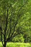 Tree in the sun. Dark trunk and branches of a tree against bright green foliage stock photo