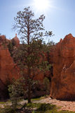 Tree in the Sun at Bryce Canyon Stock Images