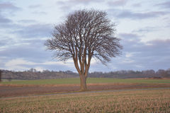 Tree in sun. Tree on a field in the sun in winter without snow Stock Image