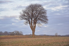 Tree in sun. Tree on a field in the sun in winter without snow Royalty Free Stock Photo