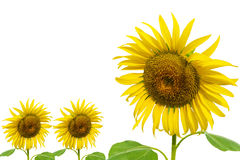 Tree Sun flower Isolated Royalty Free Stock Photography