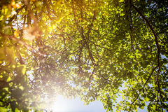 Tree and the sun. The sun is shining and pushing through the foliage of a tree Stock Photo
