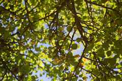 Tree and the sun. The sun is shining and pushing through the foliage of a tree Stock Photos