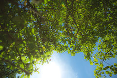 Tree and the sun. The sun is shining and pushing through the foliage of a tree Royalty Free Stock Photos