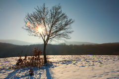 Tree with sunbeam and lens flares at winter. A tree with sunbeam and lens flares at winter Royalty Free Stock Image